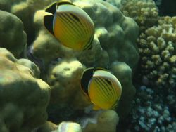 A pair of Exquisite butterflyfish. by Mario Bortolotti 